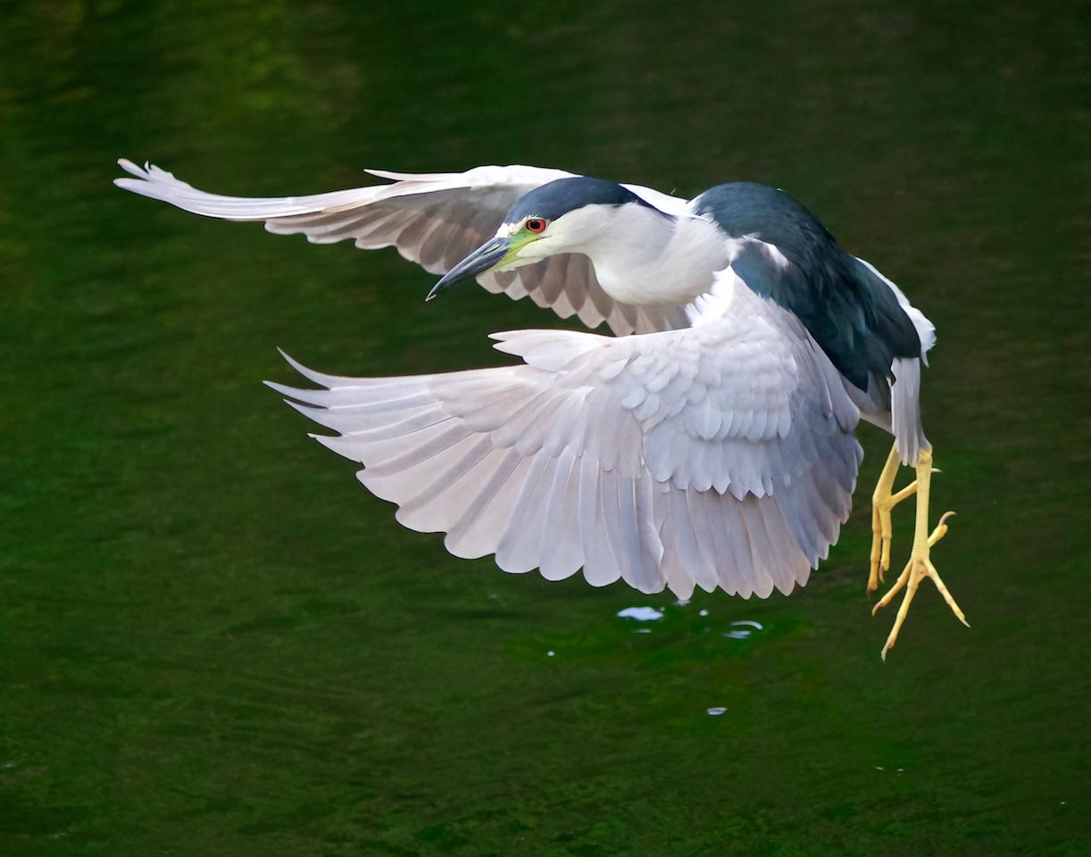 Black-Crowned Night Heron - Don Specht - MNPC