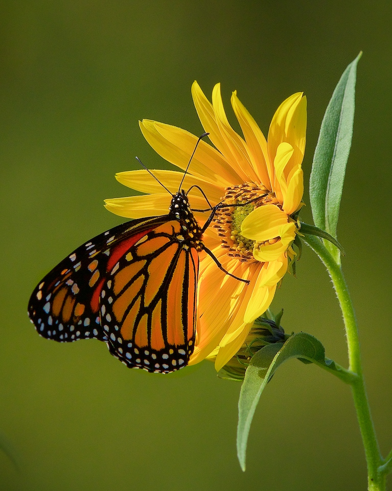 Award - Monarch on Sunflower - Don Specht - MNPC