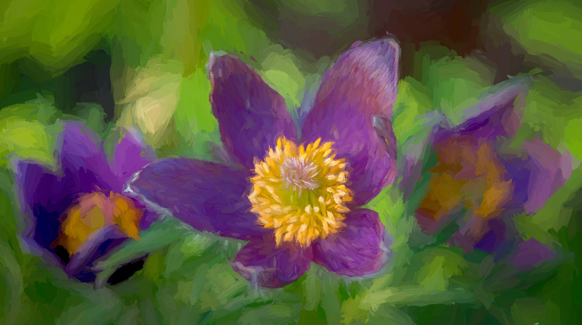 Pasque Flowers - Diane Herman - MNCC
