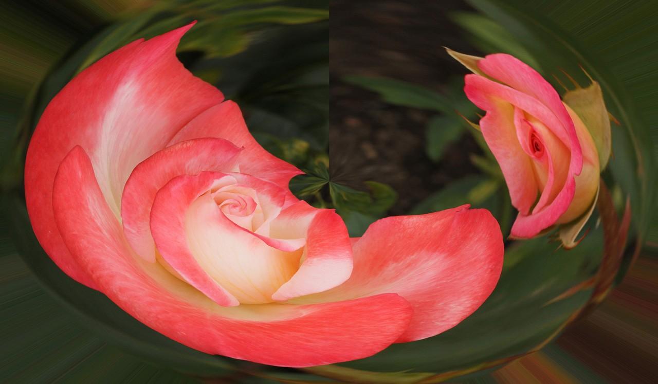 Swirled Rose - Linda Mueller - MCC