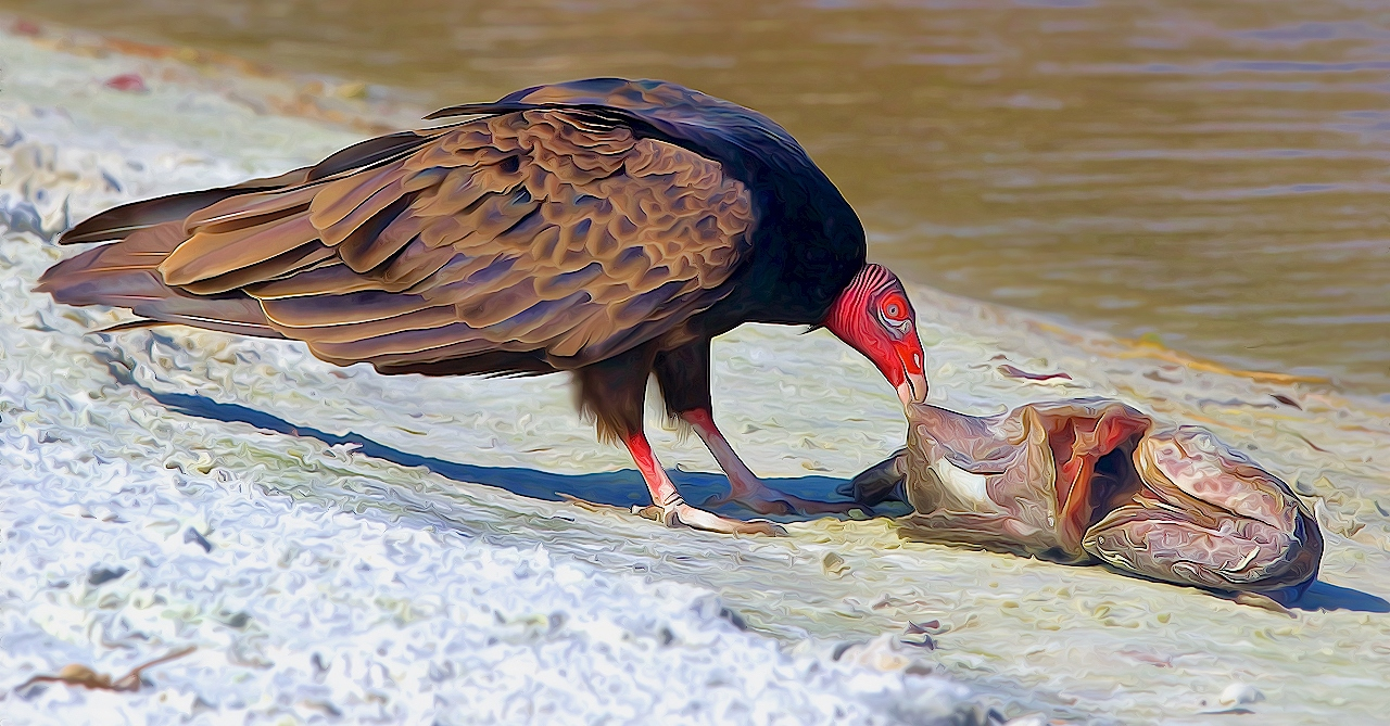 Turkey Vulture with Fish - Don Specht - MNCC