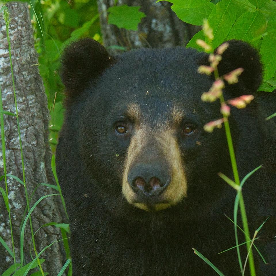 Black Bear - M J Springett - WWPC