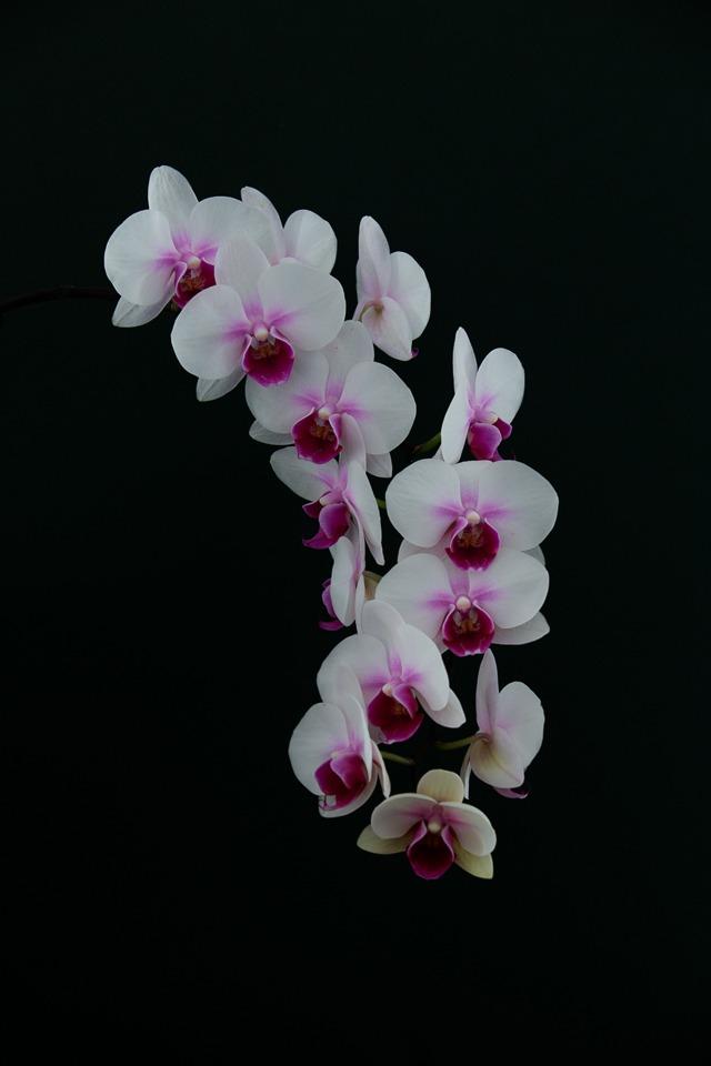 My Orchid - Larry Weinman - WWPC