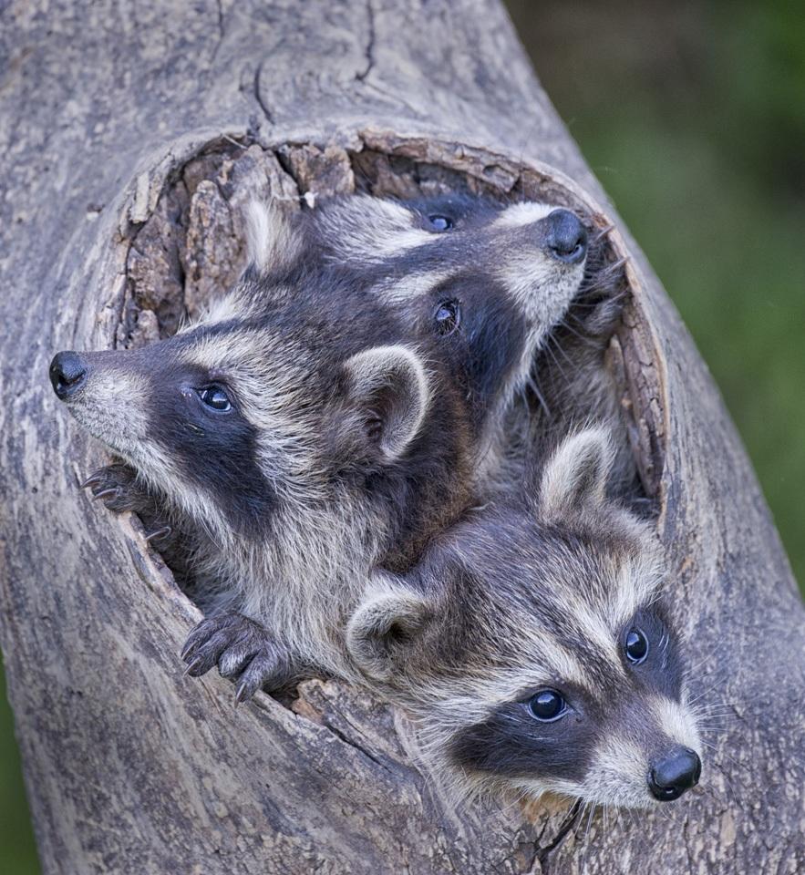 Raccoons - Kathy Wall - NMPC