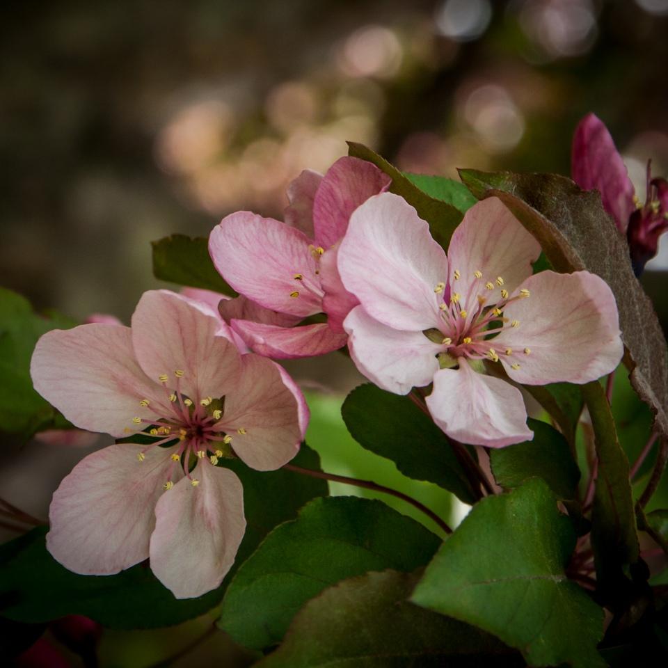The Fragrance of Spring - Lisa Olson - MCC