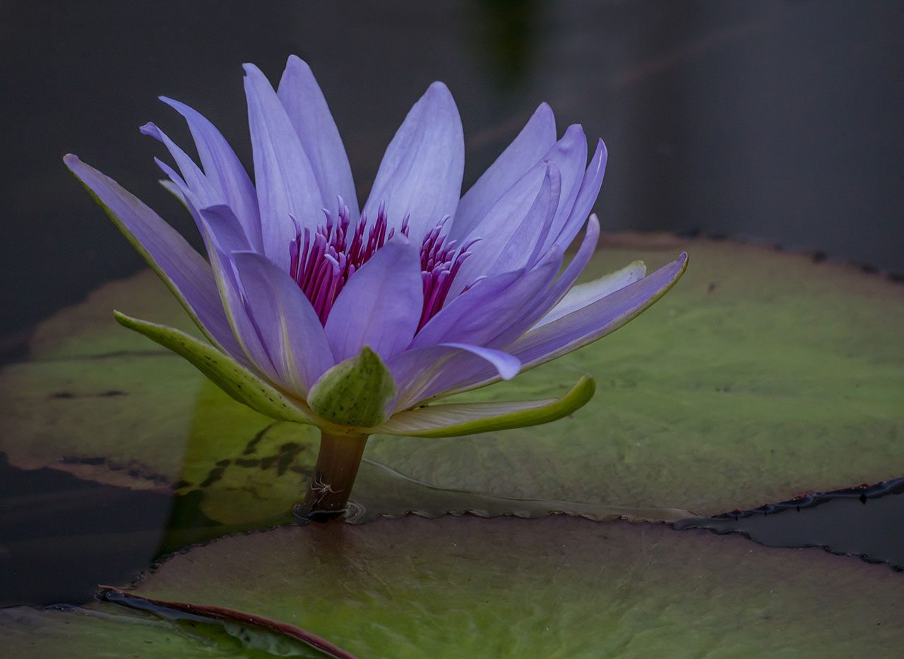 Water Lily and Spider - Pat Boudreau - NMPC