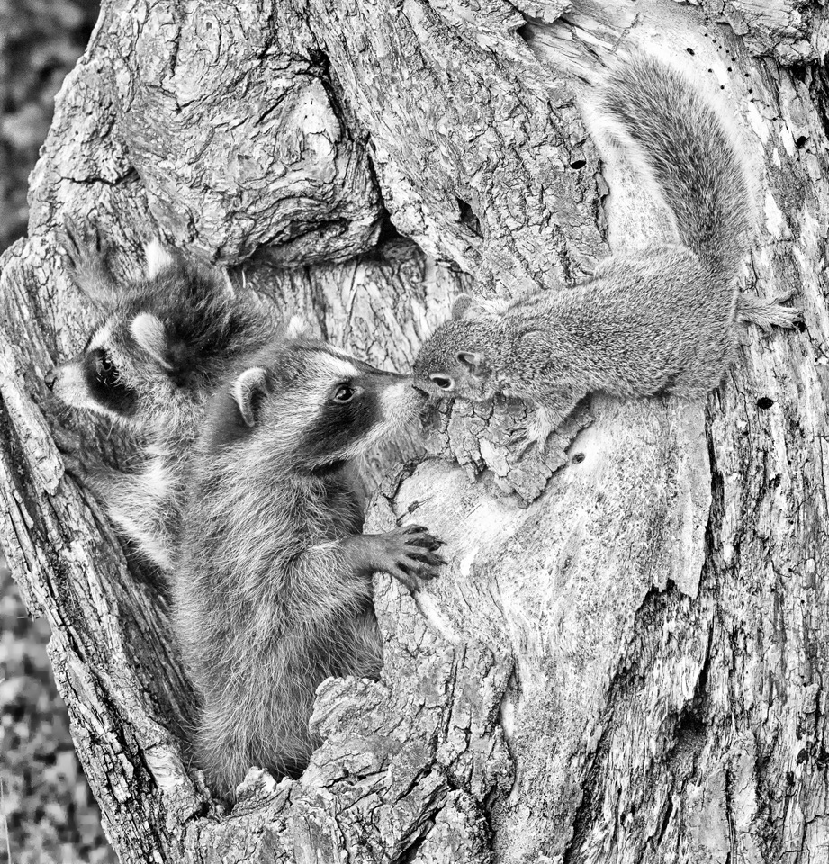 Raccoons and Squirrel - Kathy Wall - NMPC