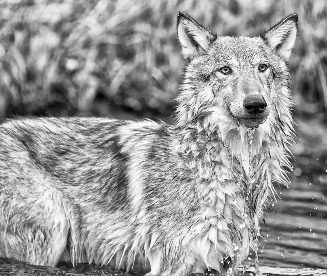 Wolf Drinking at Pond - Kathy Wall - NMPC