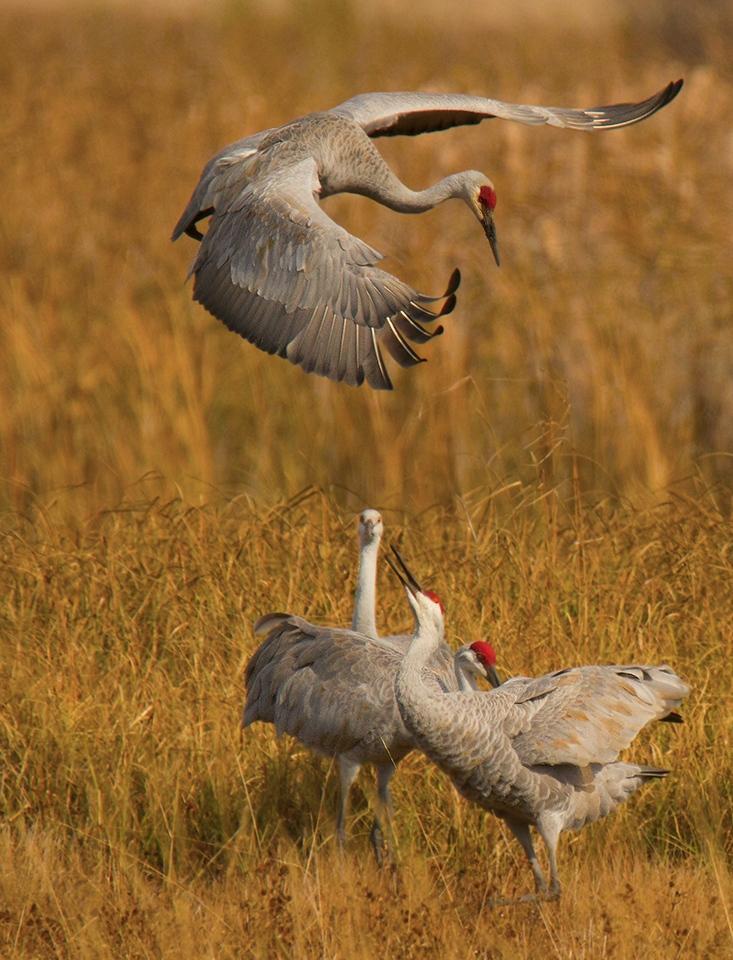 Dancing Cranes - M J Springett - WWPC