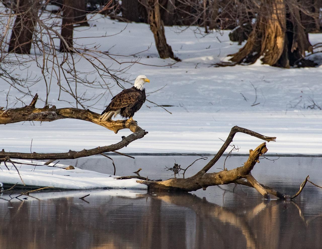 Eagle on Covill Branch - Deanne Probst - MNPC