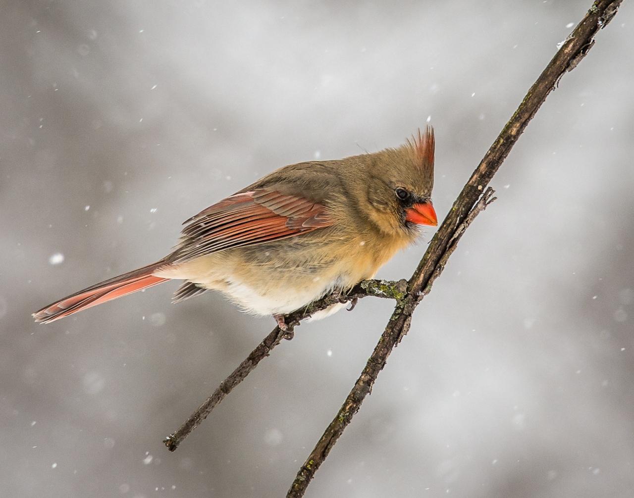 Female Cardinal in Snow - Scott Landseidel - MNPC