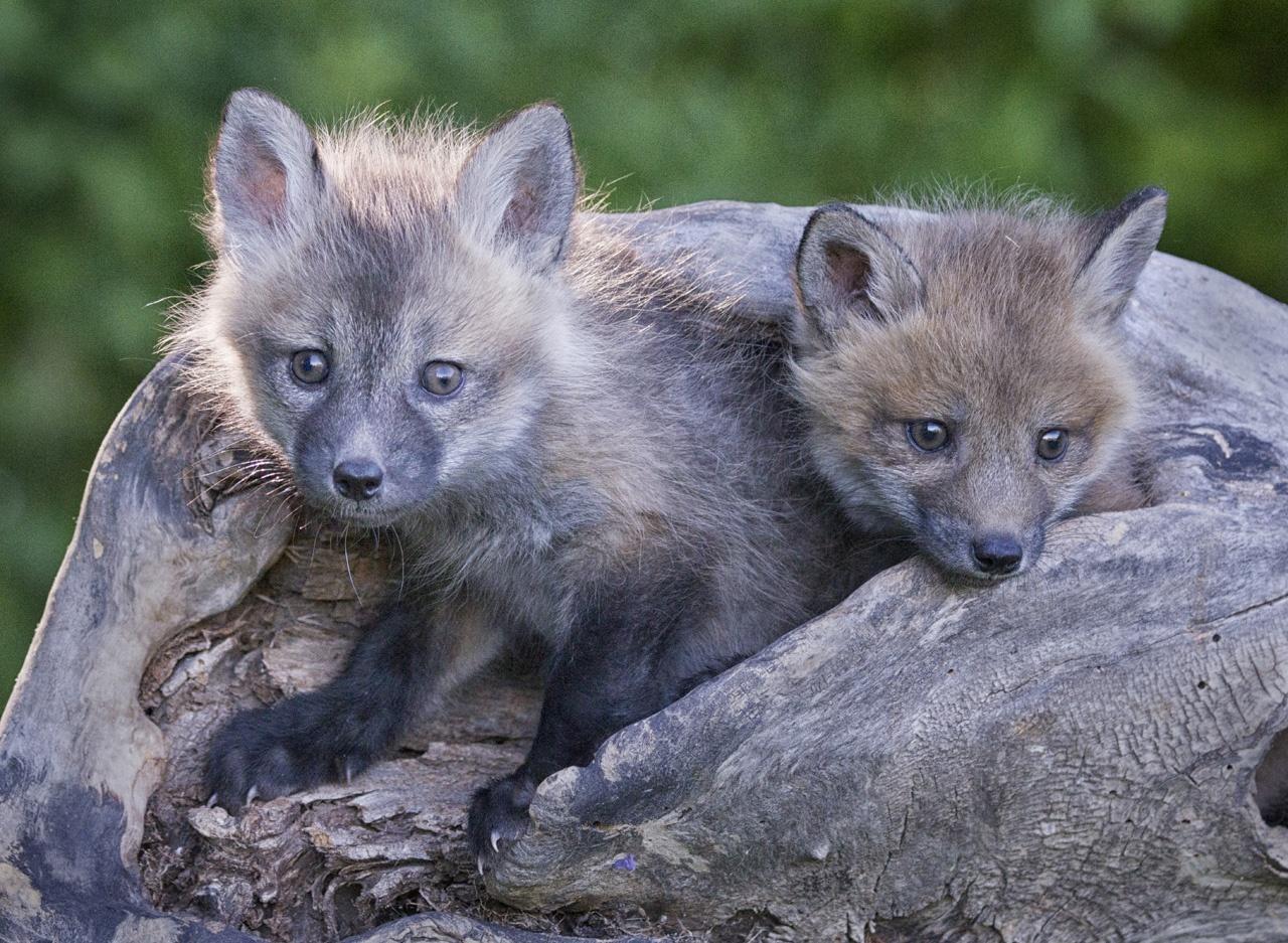 Fox Cubs - Kathy Wall - NMPC