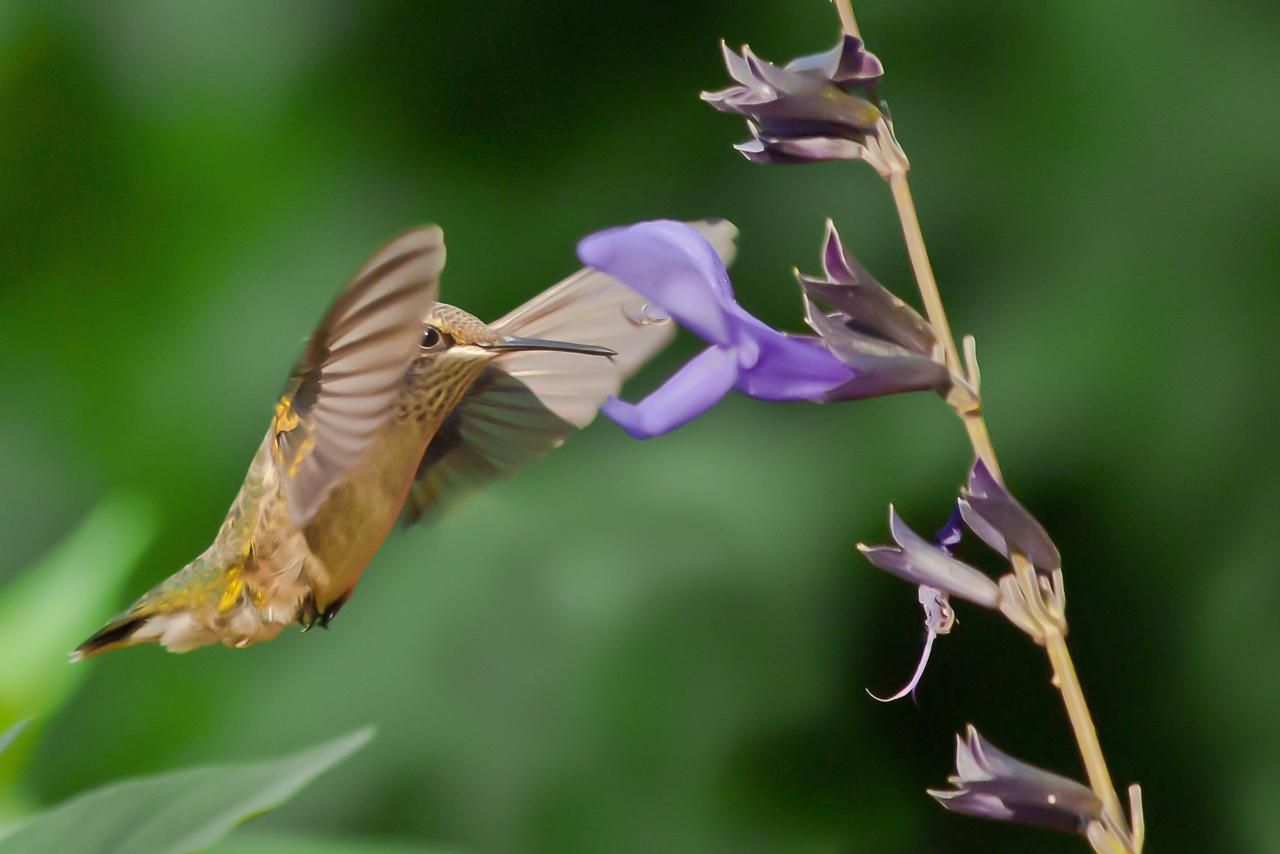 Hummingbird - Al Whitaker - FSSPCC