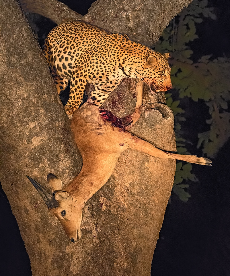 Leopard with Kill in Tree - Jean McDonough - NMPC
