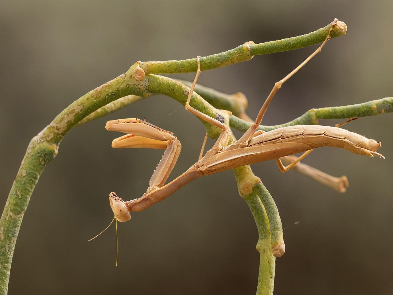 Mantis in Wait - Margaret Boike - SPCC