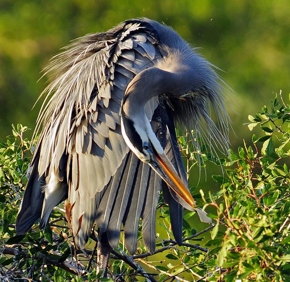Preening Blue Heron - Kathy Lauerer - WWPC
