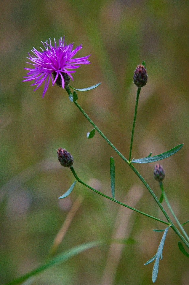 Purple Burst - Roberta Mullin - SPCC