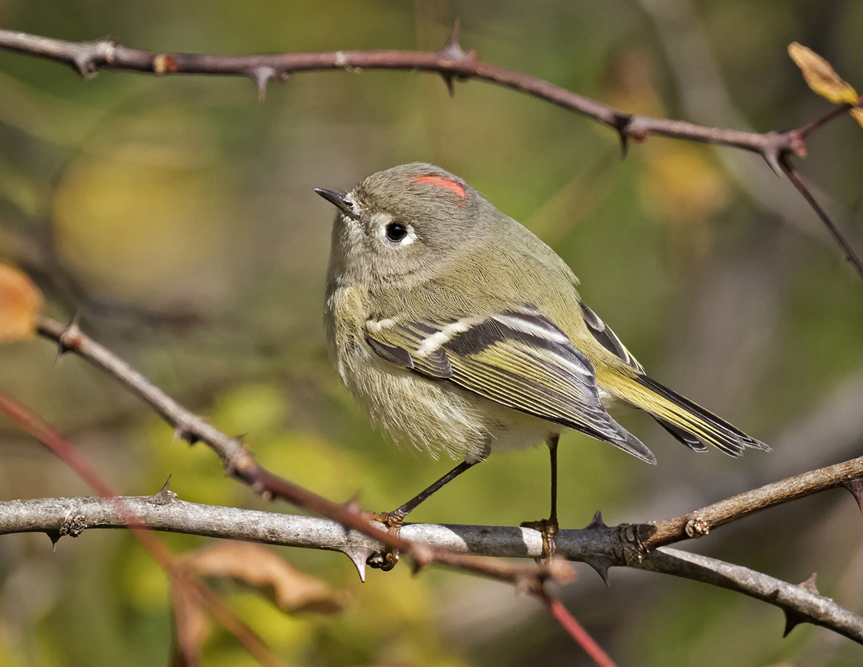 Ruby Crowned Kinglet - Michelle Terrell - SCVCC