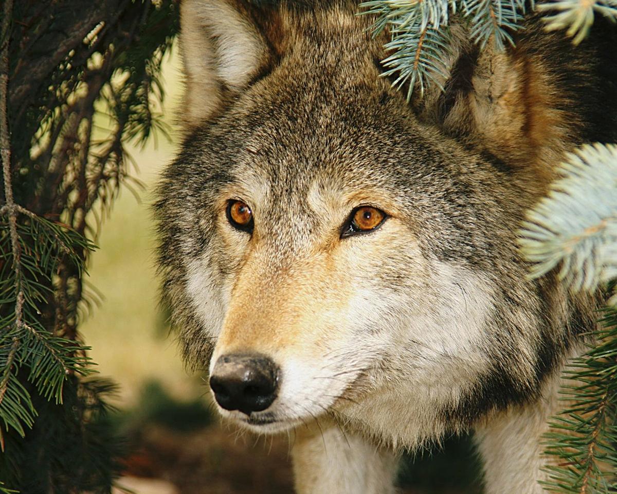 Watchful Wolf - Linda Mueller - MCC