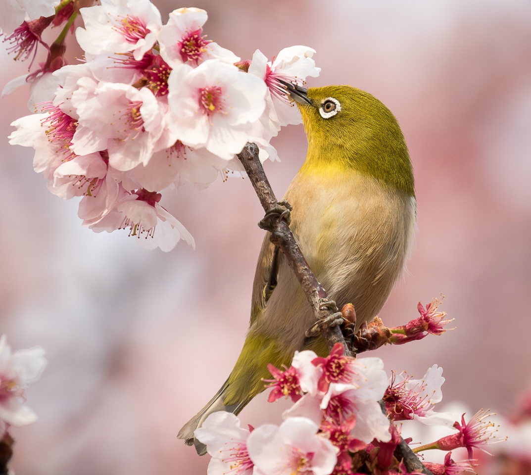 Honorable Mention - Japanese White-Eye in Plum Blossoms - Karl Fiegenschuh - MNPC