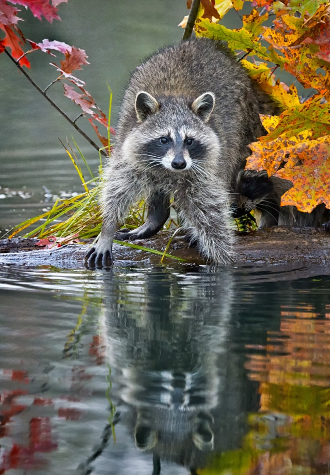Honorable Mention - Raccoon and Reflection - Kathy Wall - NMPC