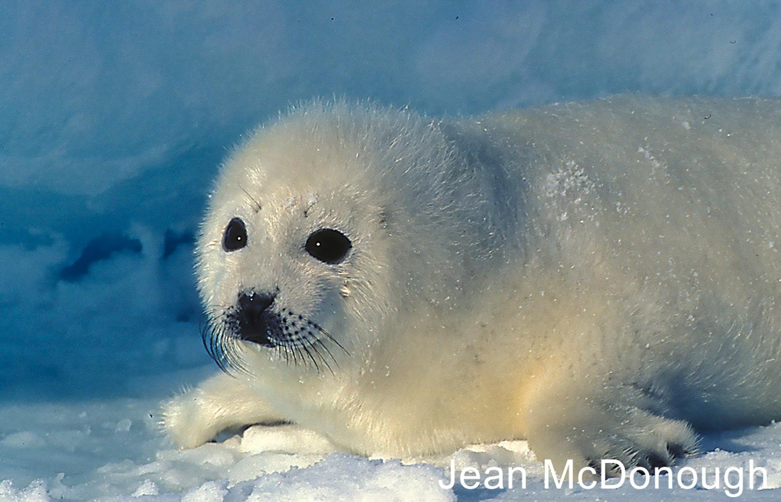 W1-10.Baby-Harp-Seal