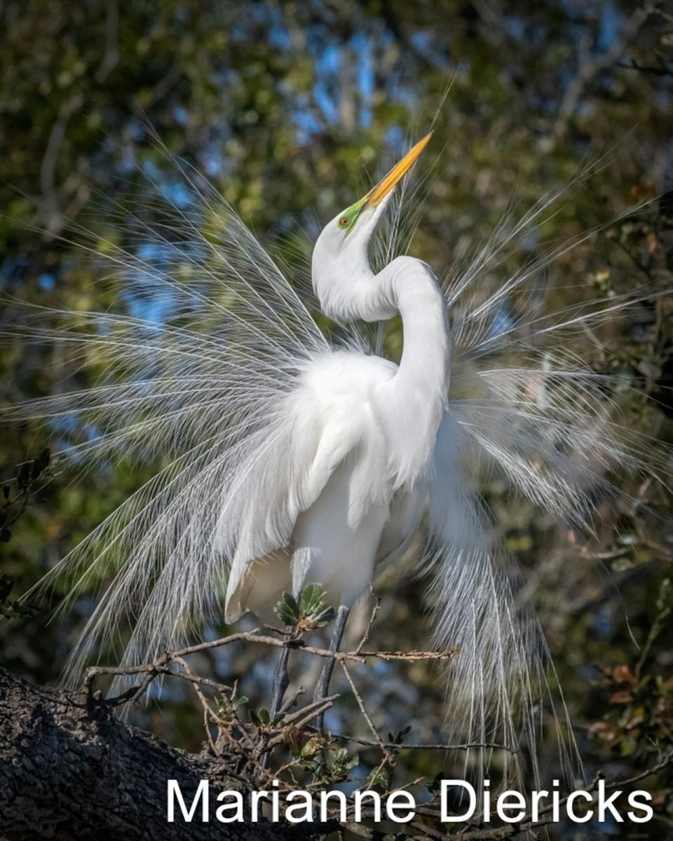 W2-06.Egret-Mating-Display