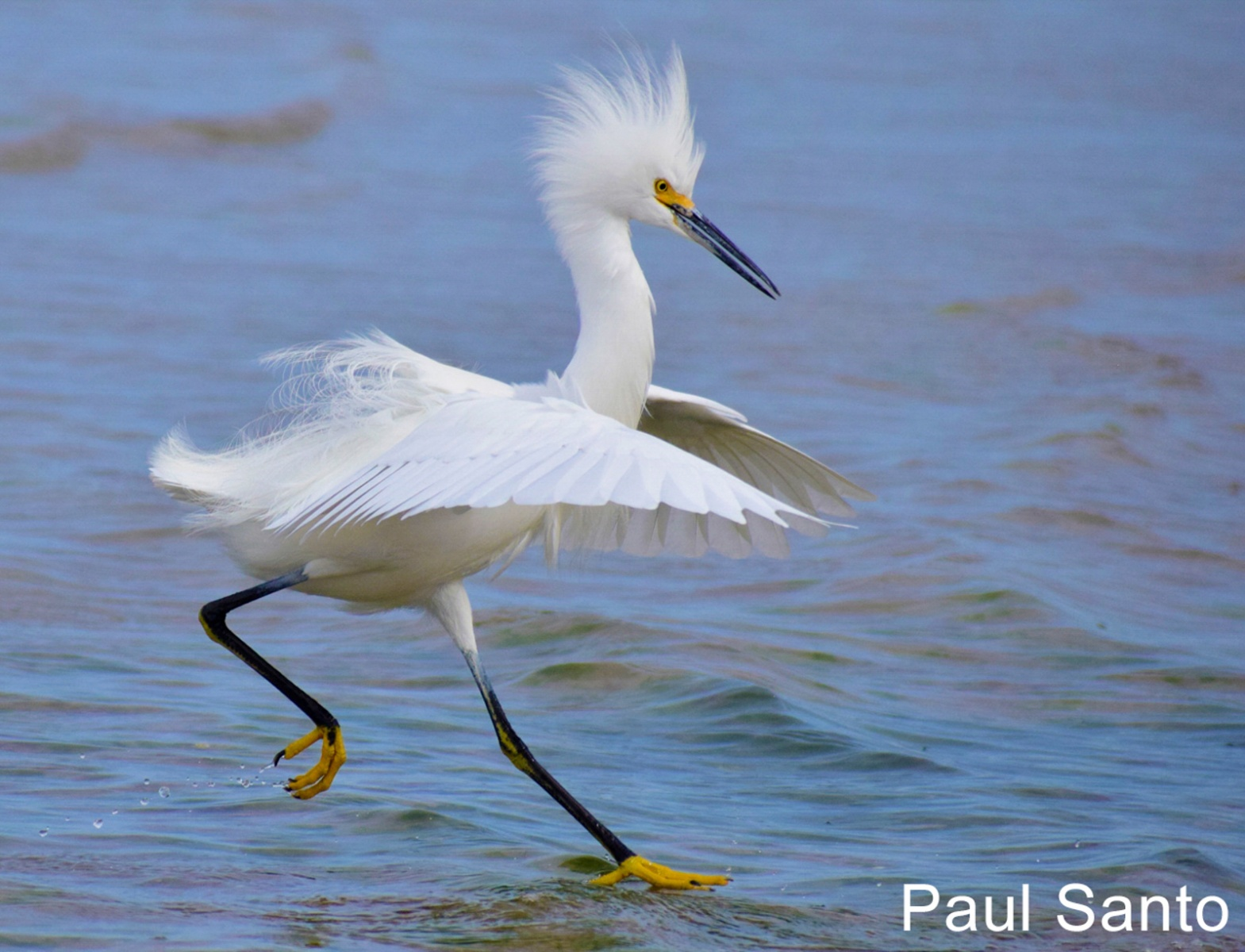 W2-11.Snowy-Egret-Walking-On-Water