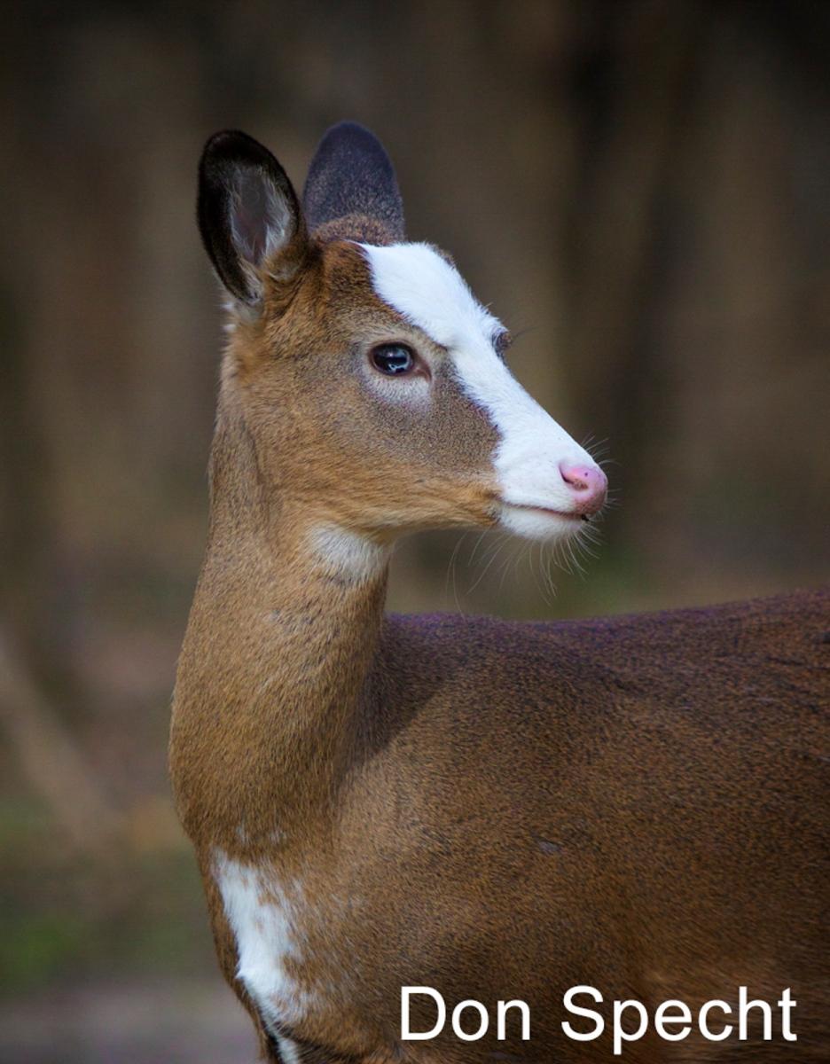 W2-13.Piebald-White-Tailed-Deer