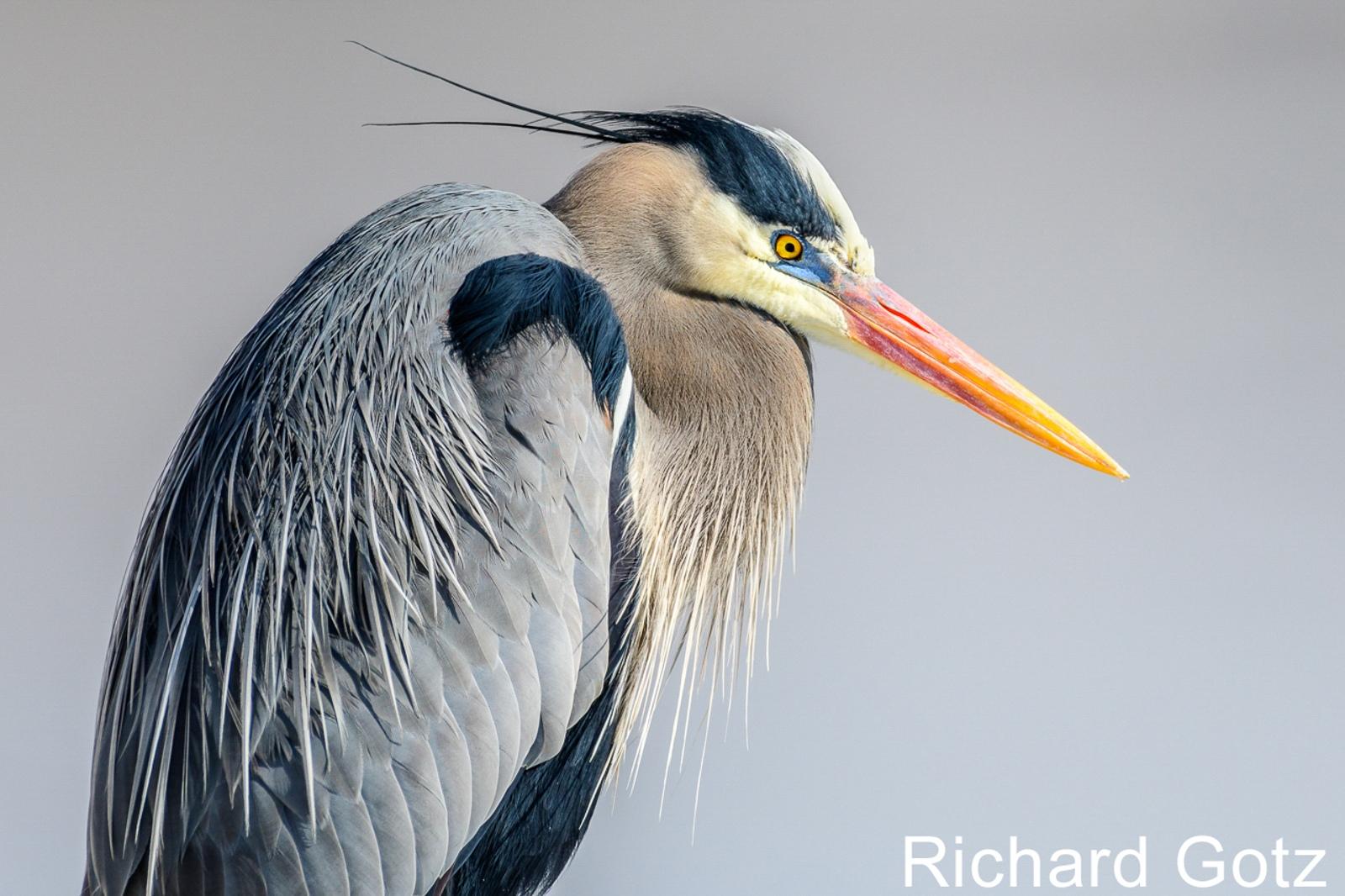 W3-03.Great-Blue-Heron