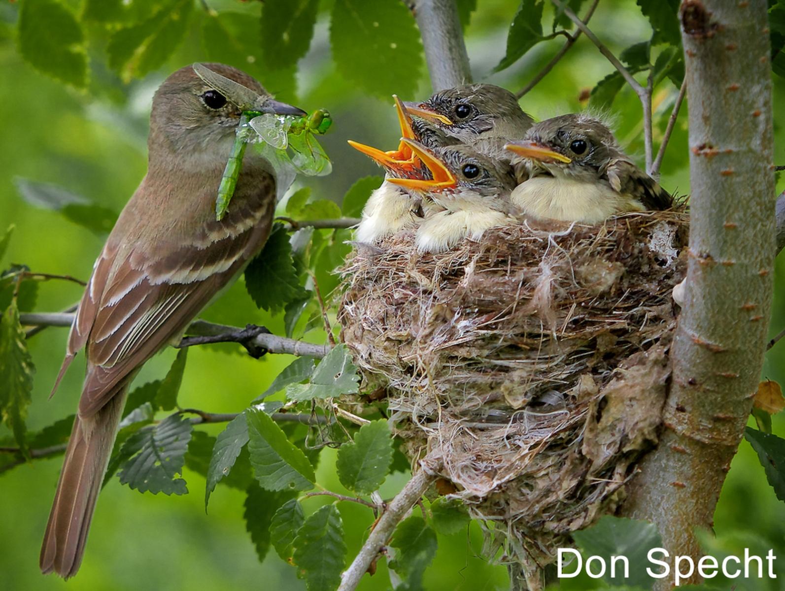W3-17.Willow-Flycatcher-Feeding-Nestlings