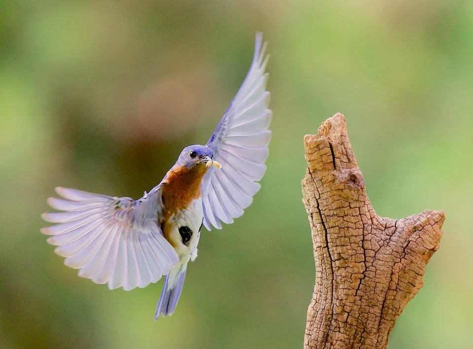 Eastern Bluebird Flight - Don Specht - MNPC