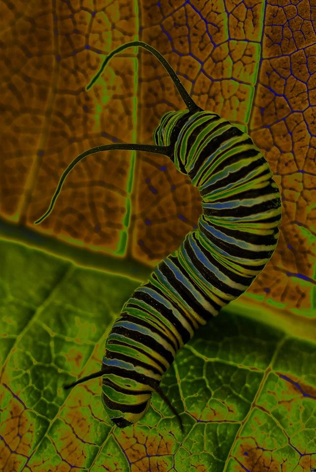 Butterfly Larvae - Pat Miller - NMPC