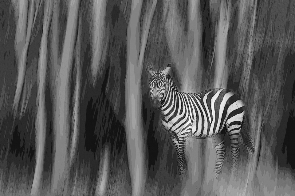 Forest Zebra- Melissa Anderson - WWPC