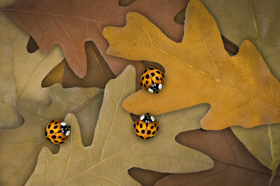 Ladybugs on Oak Leaves - Peggy Boike - SCVCC