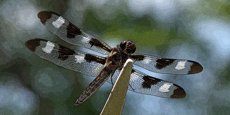 Perched Dragonfly - Linda Mueller - MCC