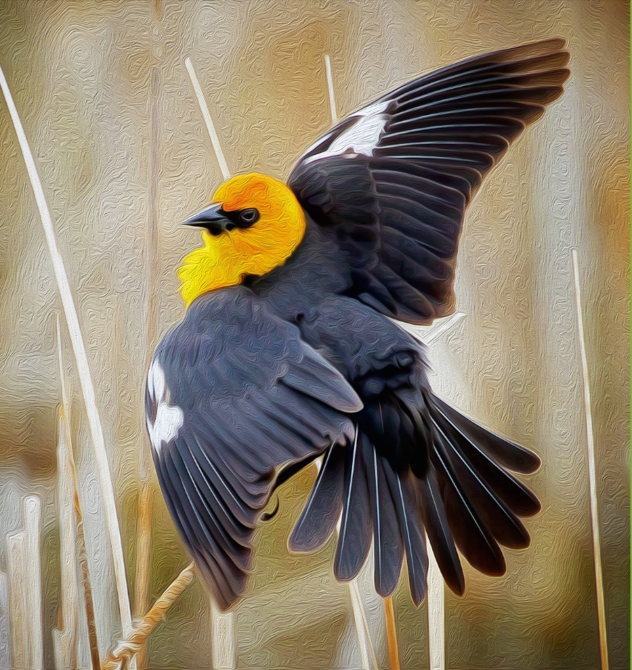 Yellow-headed Blackbird - Don Specht - MNPC