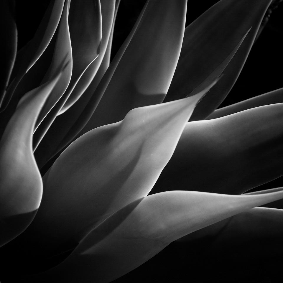 Yucca-plant-Lisa-Olson-MCC