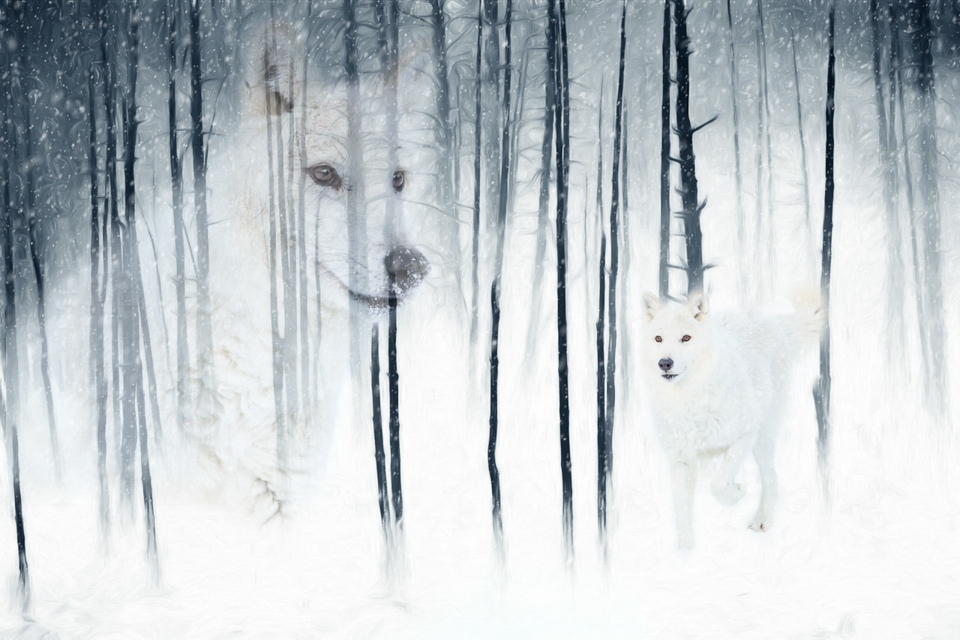 Honorable Mention - Arctic Wolf Forest Fantasy - Melissa Anderson - Western Wisconsin Photography Club