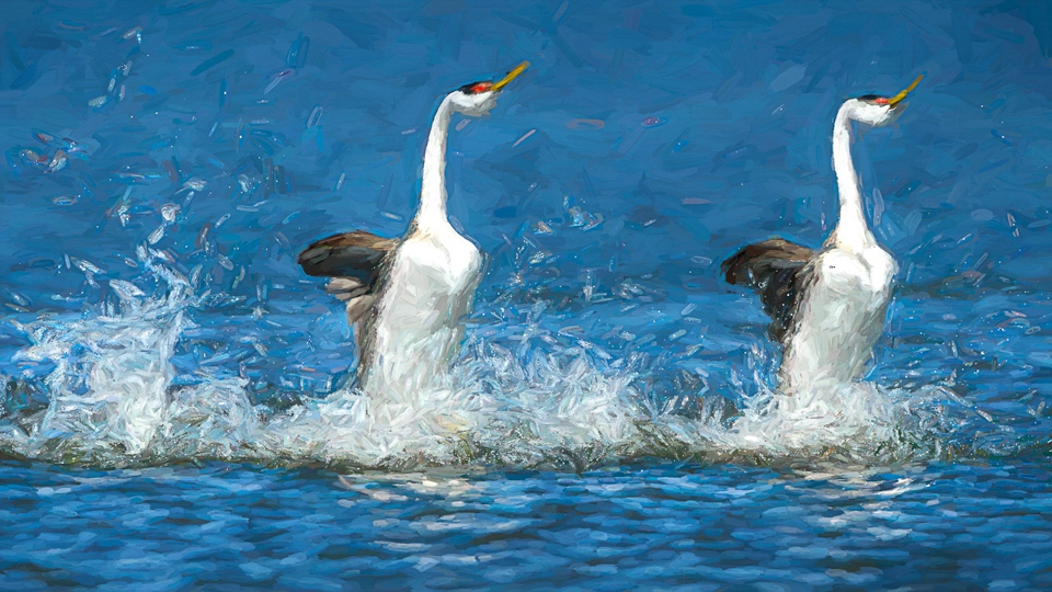 Honorable Mention - Western Grebes Rushing - Diane Herman - Minnesota Nature Photography Club