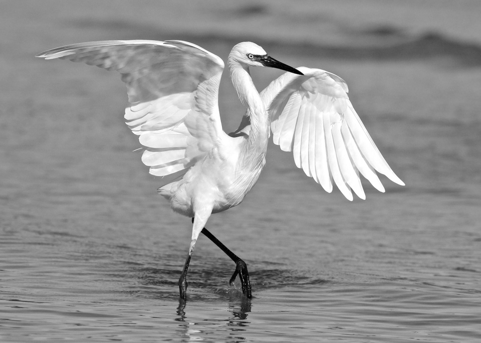 Award - White Morph of the Reddish Egret - Don Specht - Minnesota Nature Photogrphy Club