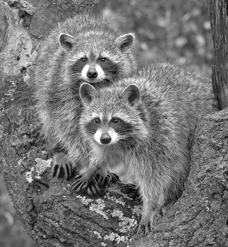Honorable Mention - Racoons - Kathy Wall - North Metro Photo Club