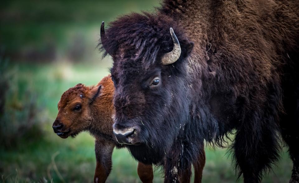 Bison with Calf - Alan Kieker - MVPC