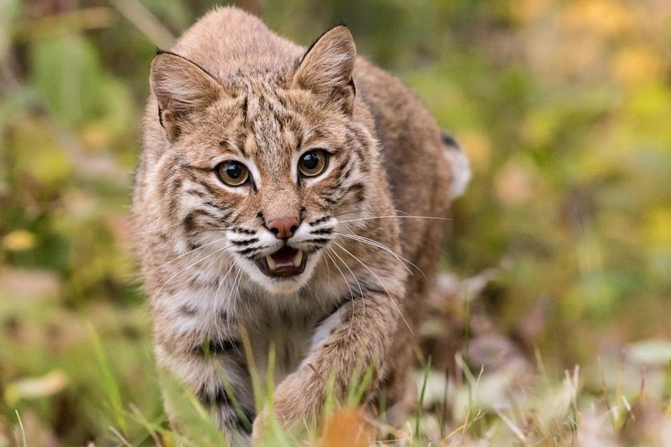 Bobcat Stalk - Melissa Anderson - WWPC