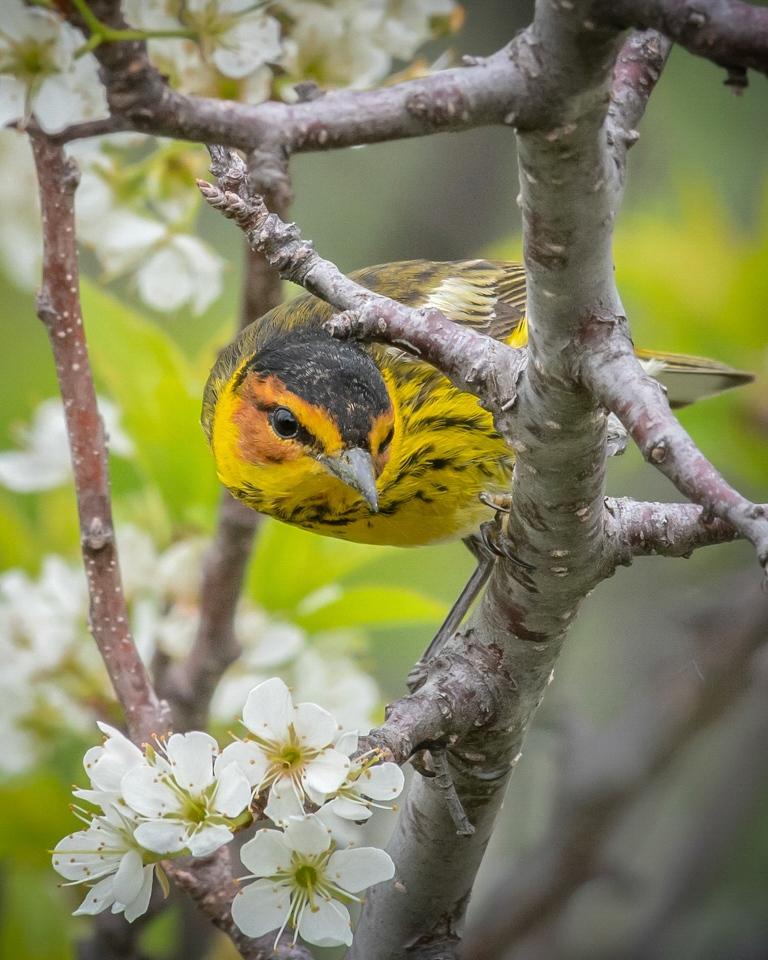Cape May warbler - Marianne Diericks - WWPCiericks-WPC