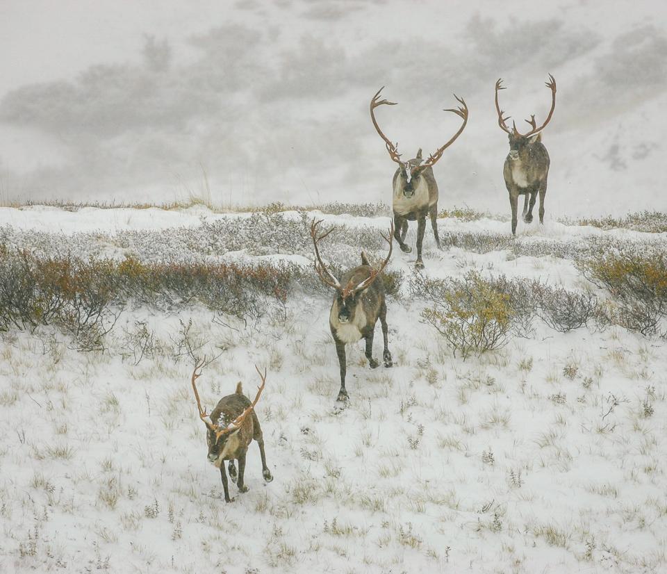 Caribou Migration - Carl Fiegenschuh = MNPC