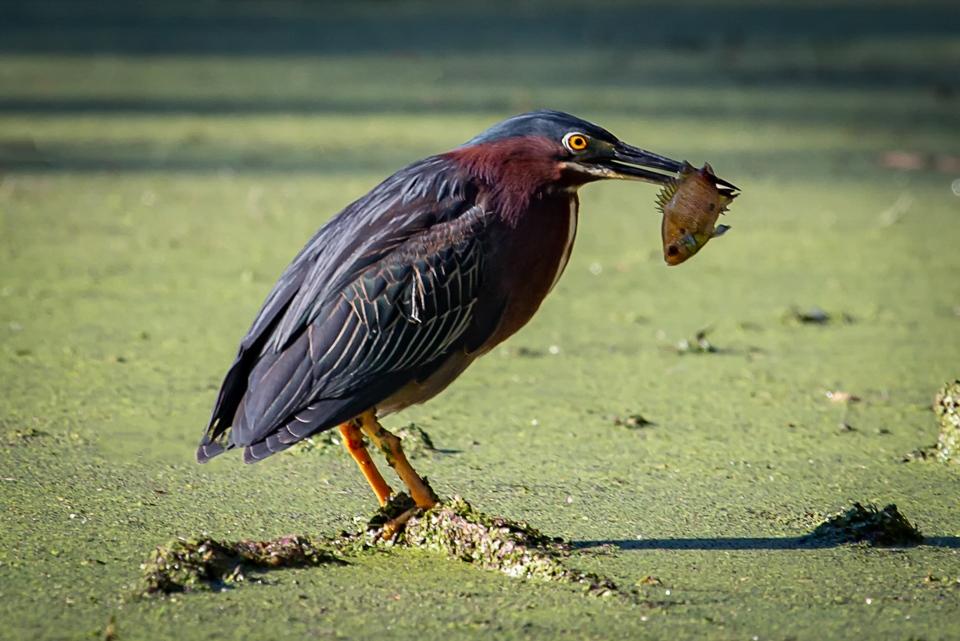 Fishing Heron - Doug Heimstead - NMCPC