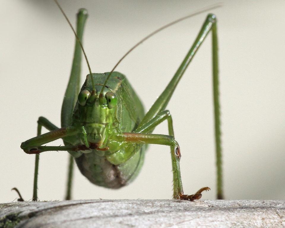Grasshopper Eating - Linda Mueller - MCC