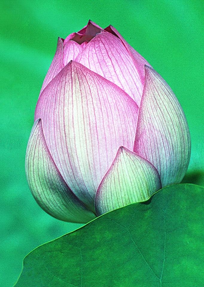 Lotus Portrait - Herb Gustafson - SPCC