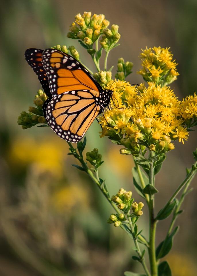 Monarch Butterfly - Micheael Waterman - WWPC